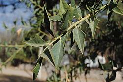 250px-Jodina_rhombifolia