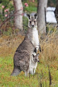400px-Kangaroo_and_joey03