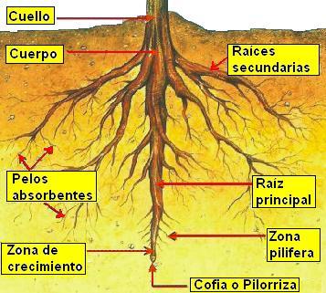 Partes de la planta y sus funciones for Cuales son las partes de un arbol