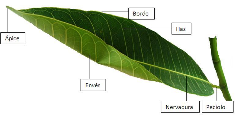 Partes de la planta: raíz, tallo, hoja, flor y fruto