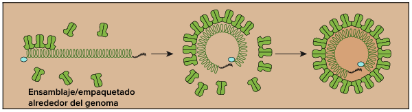 Las proteínas de la cápside se ensamblan alrededor del genoma viral, y así se forma una partícula vírica con el genoma por dentro (encapsulado por la cápside).